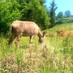 El burrín y las vacas.